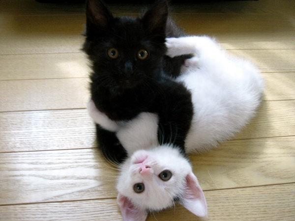 Кошки и котята (78) (600x450, 44Kb)
