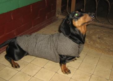 Такса в пальто