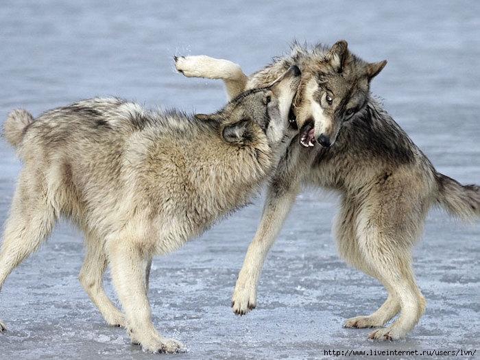 Блог.ру - lvn - Притча * 2 волка*