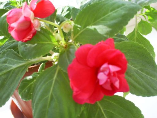 Плакса цветок 143