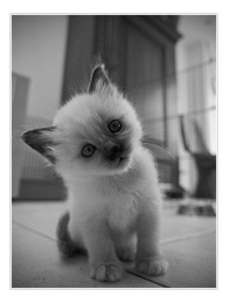 черно-белые котята картинки
