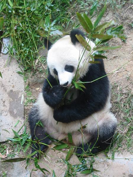 """Схема вышивки  """"Панда с бамбуком """": предпросмотр."""