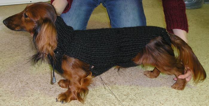 Такс в свитере