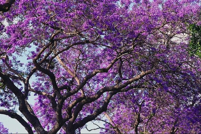 сиреневые деревья фото и названия