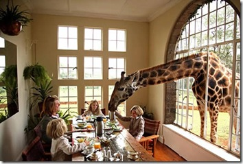 ротшильдский жираф, домашнее животное семьи карр-хартли