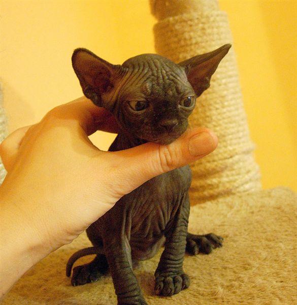 Вот представляю если его побрить:) Можно получить вот такого кота.