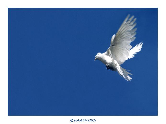 белых голубей в небе