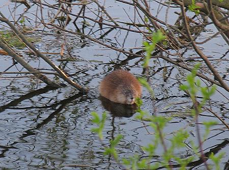 Ондатра - водяная крыса