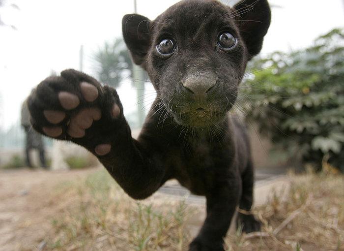 black-baby-jaguar (700x510, 65Kb)