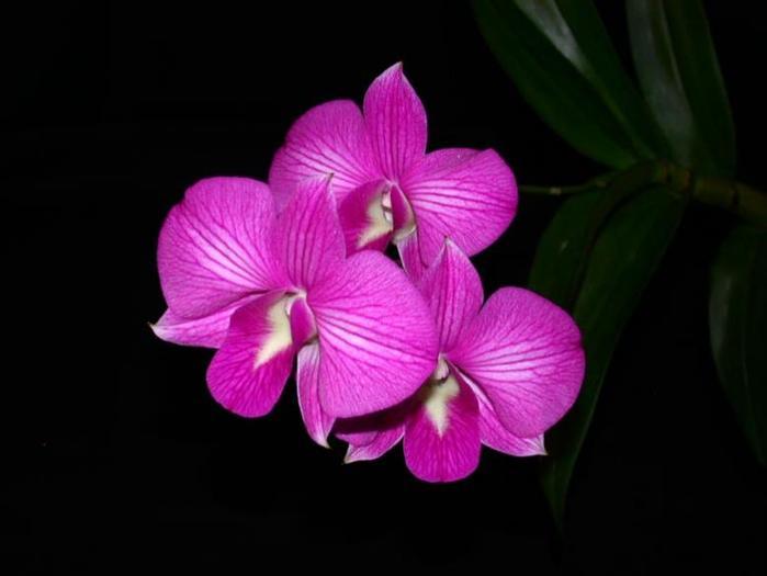 Dendrobium Burana Stripe