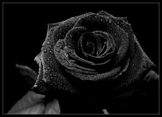 Черная роза: предпросмотр.