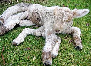lamb (300x218, 38Kb)