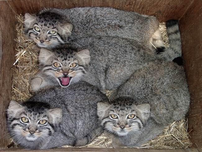 фото камышовые кошки