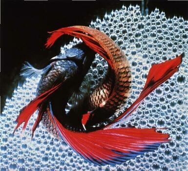 Главная/Описание.  Семейства рыб. рыб/Происхождение. растения. рыб/Аквариум/Содержание