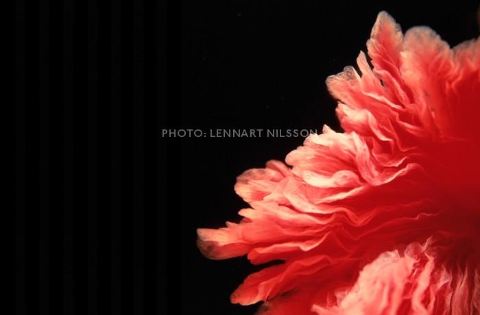 http://img0.liveinternet.ru/images/attach/b/3//41/307/41307176_LennartNilsson3.jpg