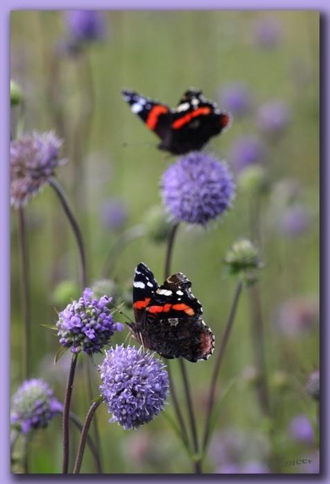 Красивые картинки цветов луговых