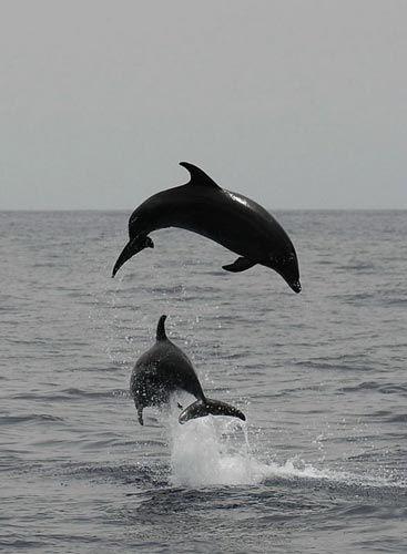 В реке Амазонке водятся розовые речные дельфины (2 фото).