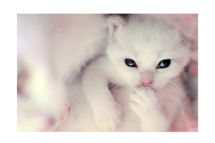 4944838_Hello__little_white_kitten__by_SubterfugeMalaises[1] (699x466, 156Kb)