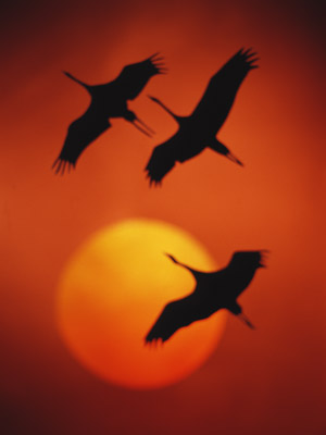 Летели стаей журавли.  Курлыча, в... Я видел в небе журавля.  Легко, свободно он летел, Любви желанной песню пел.