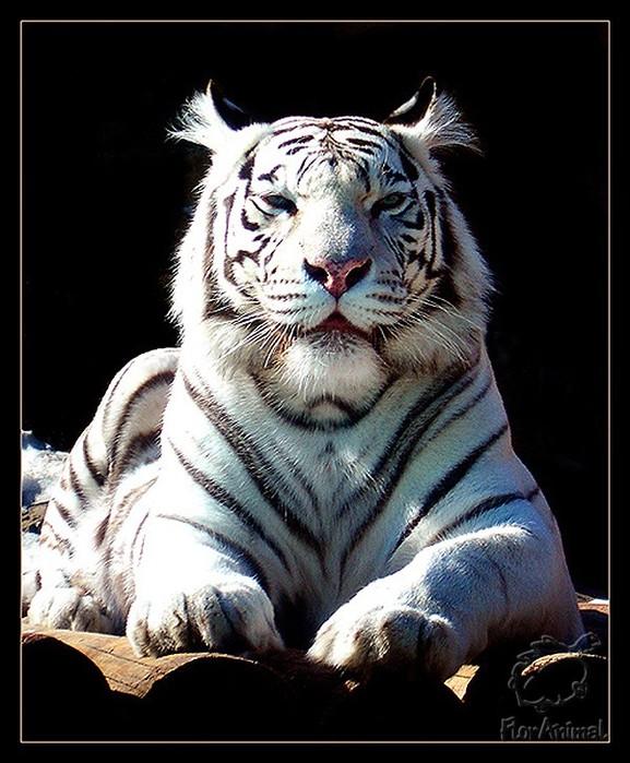 На протяжении тысячелетий тигры с белой окраской казались людям существами, окутанными ореолом таинственности.