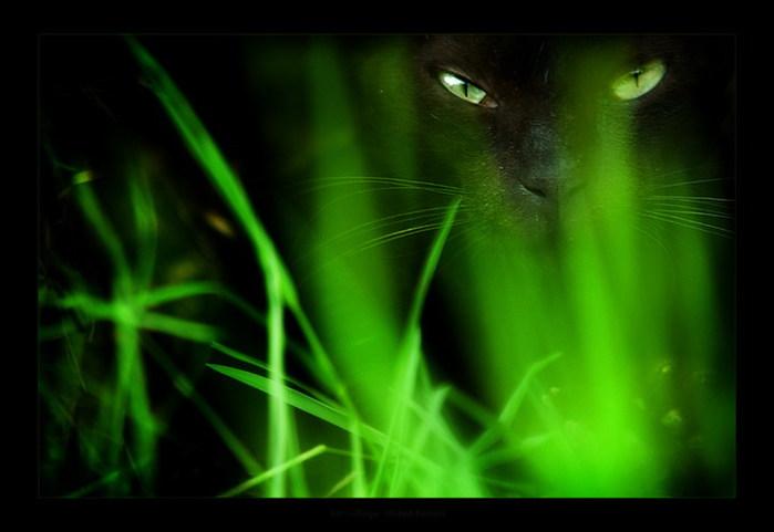Фото Чёрный кот с салатовыми глазами сидит в траве.