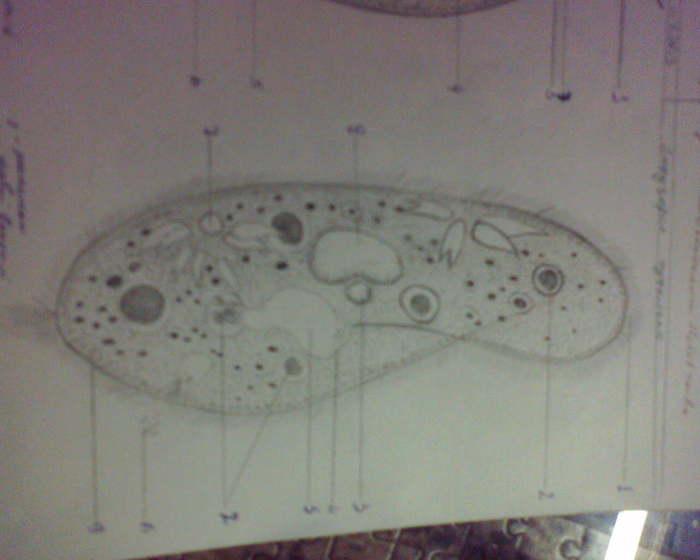 Строение Инфузории Туфельки Рисунок