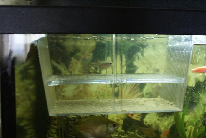 Малек гуппи когда сажать в общий аквариум 29