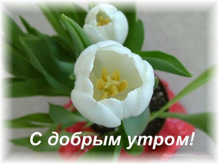 Открытки с тюльпанами с добрым утром 15