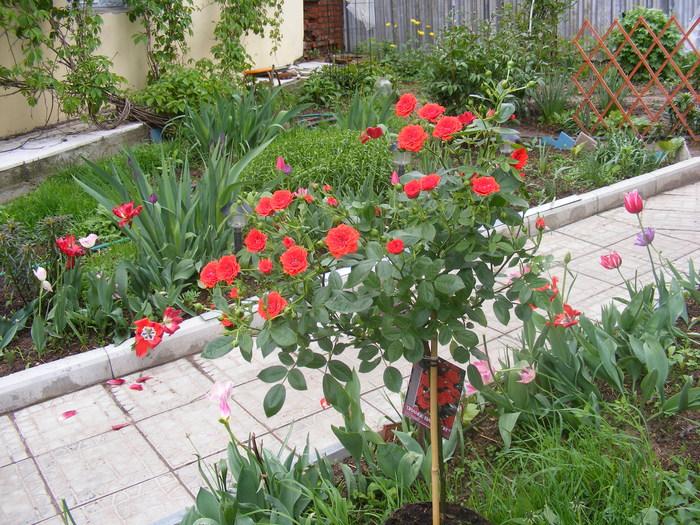 Уход за бордюрными розами в домашних условиях 613