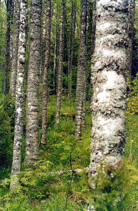 Леса Муезерского района