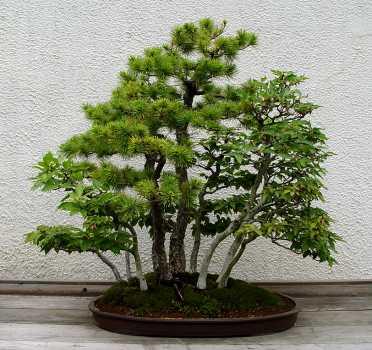 В культуре бонсаи используют более 400 видов растений, из которых наиболее популярны хвойные: можжевельники, туи...