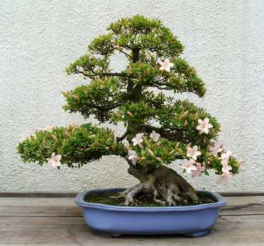 Малайский медведь.  Прочитать...  Часть 2. япоское искусство выращивания миниатюрных деревцев - бонсай.