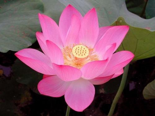 Цветок индии
