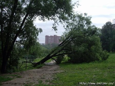 Мытищи: дерево, упавшее во время грозы