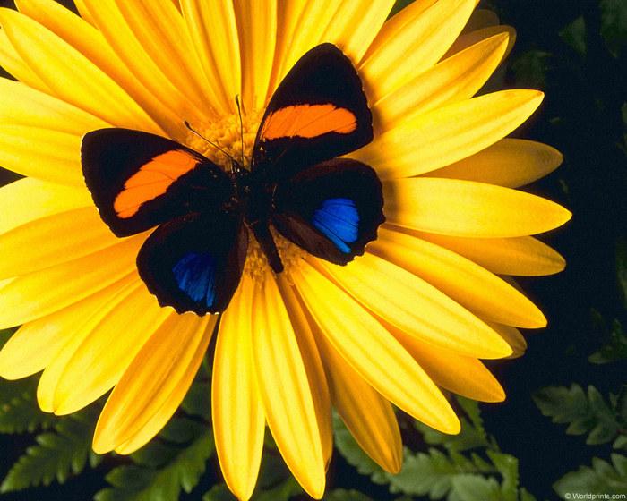 22984727_1208483860_butterfly_daisy1 (700x560, 130Kb)