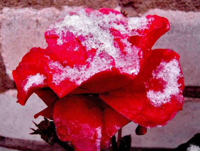 роза под снегом (699x528, 54Kb)