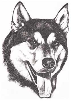 Восточноевропейская. лайка - самая крупная охотничья лайка.