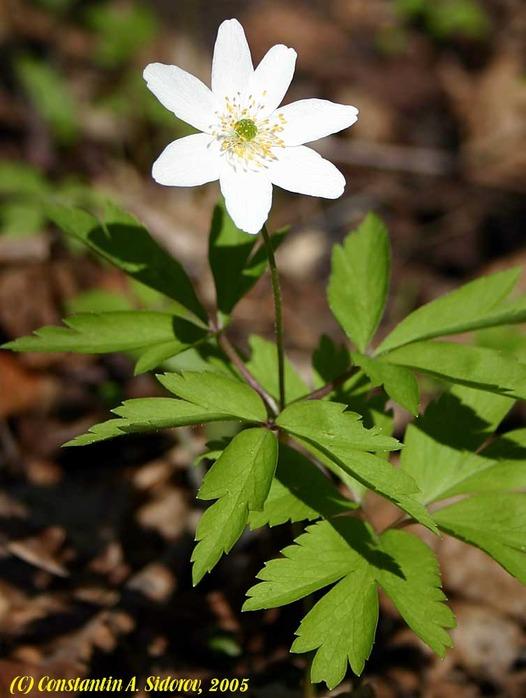 белые растения в мае в лесу