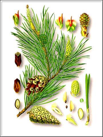 Сосна обыкновенная - хвойное вечнозеленое дерево семейства сосновых (Pinaceae.
