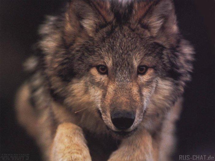 Волчьи аватарки, бесплатные фото, обои ...: pictures11.ru/volchi-avatarki.html