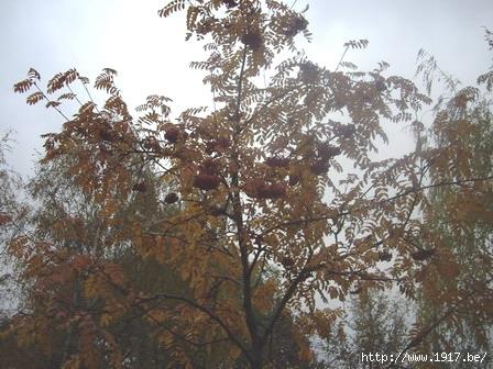 Рябина: осень 2007