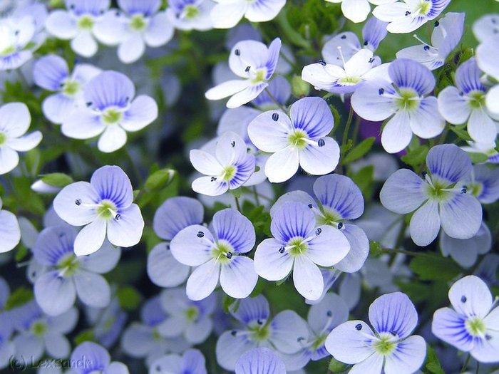 Цветы Немофилы, вероники.