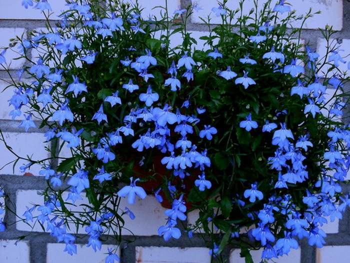 Есть такие цветы - лобелиЯ!. обсуждение на liveinternet - ро.