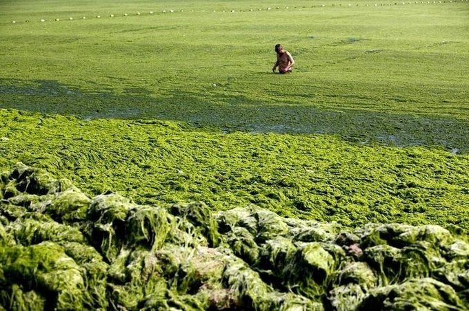 зеленые водоросли на пляже в китае фото 1 (680x452, 274Kb)