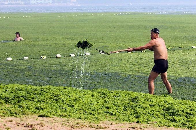 зеленые водоросли на пляже в китае фото 9 (680x453, 236Kb)