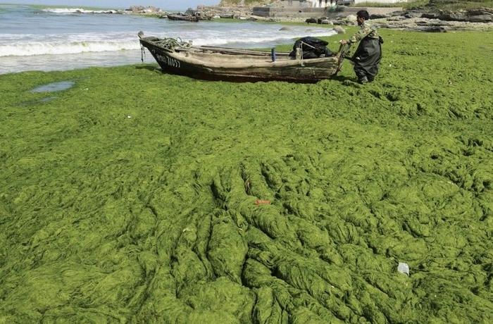 зеленые водоросли на пляже в китае фото 11 (700x460, 291Kb)