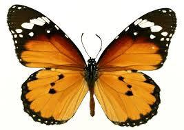 Бабочка (267x189, 35Kb)