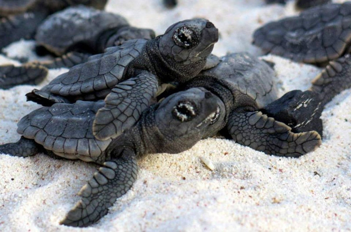 черепахи фото 2 (700x463, 242Kb)