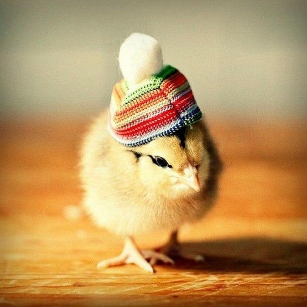 цыплята 11 (604x604, 240Kb)