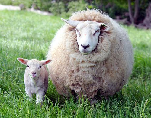 овечья-шерсть (500x390, 106Kb)